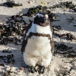 African Penguin at Boulders Beach, Cape Peninsula