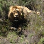 This lion was within arm's reach