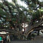 The magical Banyan tree