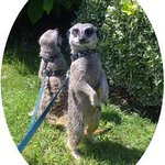 Meet The Meerkats - Zoo2U