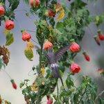 giant hummingbird feeding on beautiful flowers in gardens