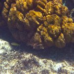A type of Trunk fish - snorkeling at the MBG