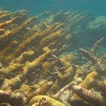 Elkhorn coral at the MBG