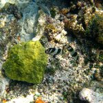 Zebra fish snorkeling at the MBG