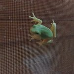 Found a tree frog on one of the window screens
