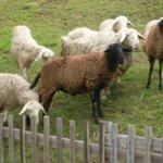 As ovelhas passeiam soltas.