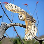 Barn Owl in Raptor Free Flight