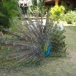 sirenis peacock