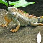 Iguana at Mawamba