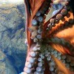 Oregon Coast Aquarium, octopus