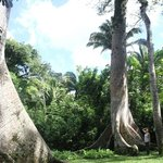 giant cieba trees - tour gaia