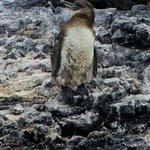 juvenile galapagos penguin