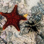 panamic cushion sea star