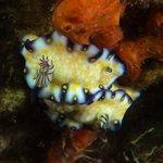 imperial nudibranch, mala pier