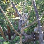 Lemure nella riserva naturale