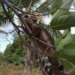 Un geko molto comune del madagascar