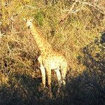 Giraffe 15m away