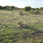 Beautiful lioness just a few meters from our vehicle