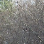 Our resident pair of bald eagles.