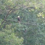 Rapidan river bald eagle surveying his domain.
