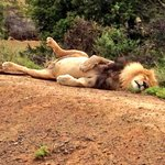 A full up lion on the reserve..