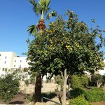 An orange tree growing in the hotel grounds