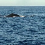 Competition pod of humpback whales