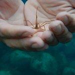 crabe flèche