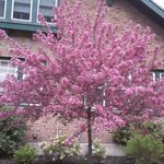 Our flowering Crab Tree in FULL bloom!