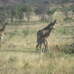 Giraffes out on safari