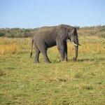 Along side a full size male bull elephant