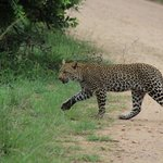 Multiple leopards seen during one of our drives.