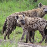 Amazing interactions with the hyenas