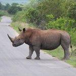 Rhinos. Many white and black rhinos here.