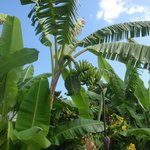 Banana Trees on the Hale Nalo Grounds