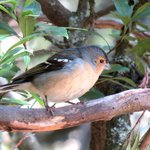 Chaffinch at Laguna Grande
