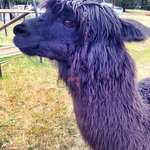 One of 20 or so Alpacas on site