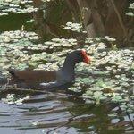 water birds in Loxahatchee