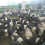 Cows' Farm