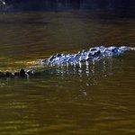 Crocodile in vue
