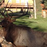 Elk on front lawn
