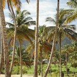 Beautiful coconut trees