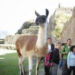Llamas running amok at Machu Pichu.