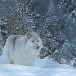 Loup mâle adulte de la ferme