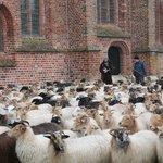 The sheep herd of Balloo surrounding the church