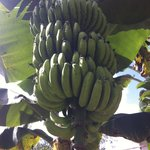 bananas -- will be ready soon!