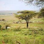 masai herding across field in front of tents