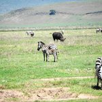 zebra mom and colt