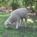 Close up of a lamb!