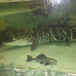 Lucie The Alligator in her indoor aquarium.